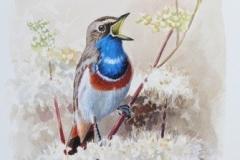 Bluethroat | 28x50 cm