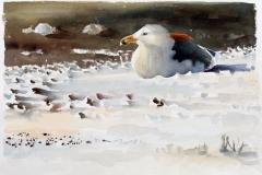 Great Black backed Gull | 65 x 43 cm / Aquarel