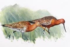 Black tailed and Bar tailed Godwit (r) | 44 x 26 cm / Aquarel