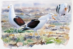 Kelp Gulls,  Falklands| 63 x 43 cm / Aquarel