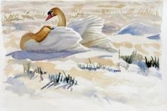 Mute Swan 1 | 60 x 35 cm / Aquarel
