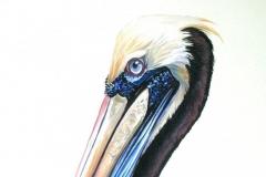 Peruvian Pelican, Peru | 52 x 69 cm / Aquarel