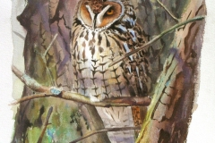 Long eared Owl | 40 x 53 cm / Aquarel
