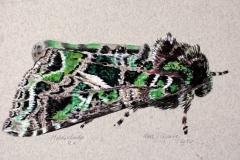 Orach Moth | 30x20 cm