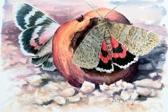Red Underwing | 57 x 41 cm / Aquarel