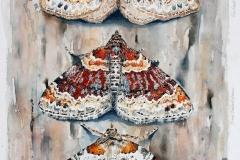 Idaea species 2