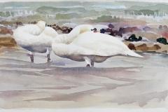 Knobbelzwanen | 65 x 43 cm / waterverf