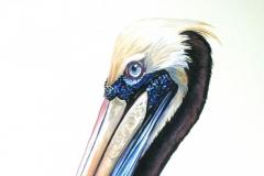 Peruvian Pelican, Peru | 52 x 69 cm / waterverf
